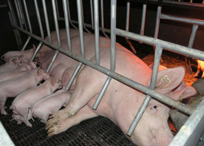 если у поросной свини появилось молоко через какое время появятся поросята