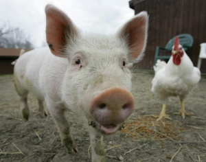 свинья и курица1