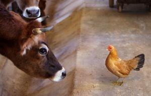 курица и корова